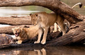 Tour: Safari Tanzania, Selous e Ruaha Safari | Arché Travel